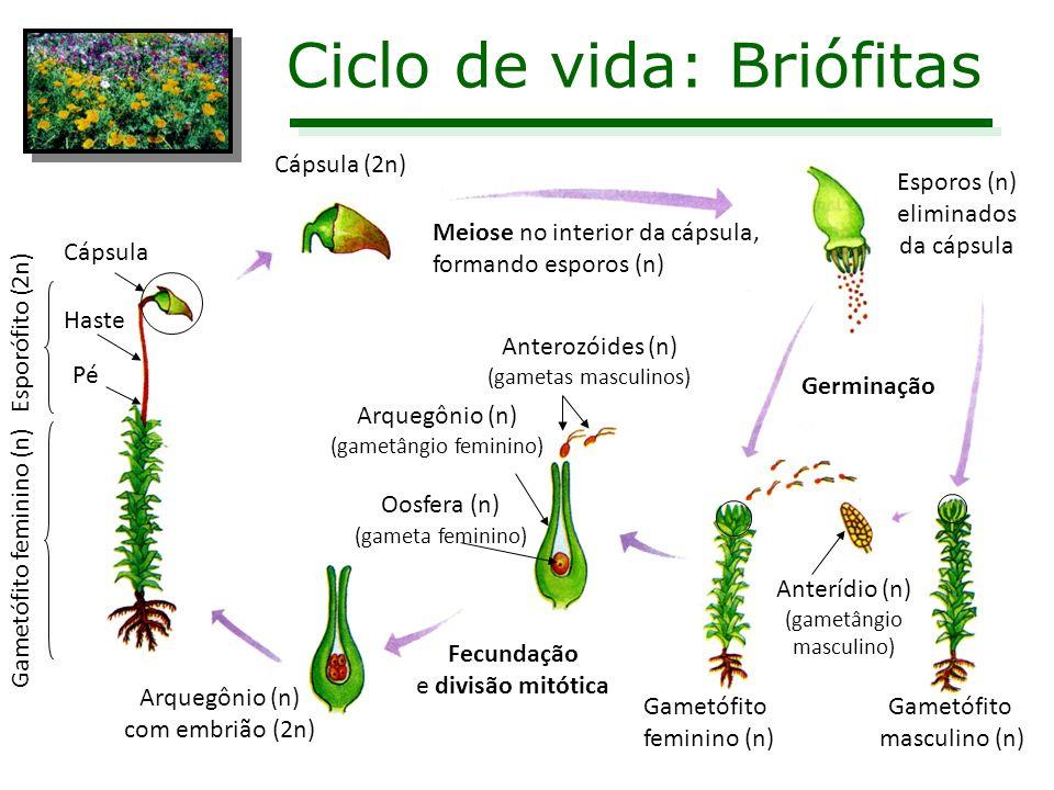 Ciclo de vida: Briófitas Cápsula (2n) Meiose no interior da cápsula, formando esporos (n) Esporos (n) eliminados da cápsula Gametófito masculino (n) G