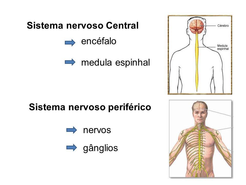 Sistema nervoso Central Sistema nervoso periférico encéfalo medula espinhal nervos gânglios