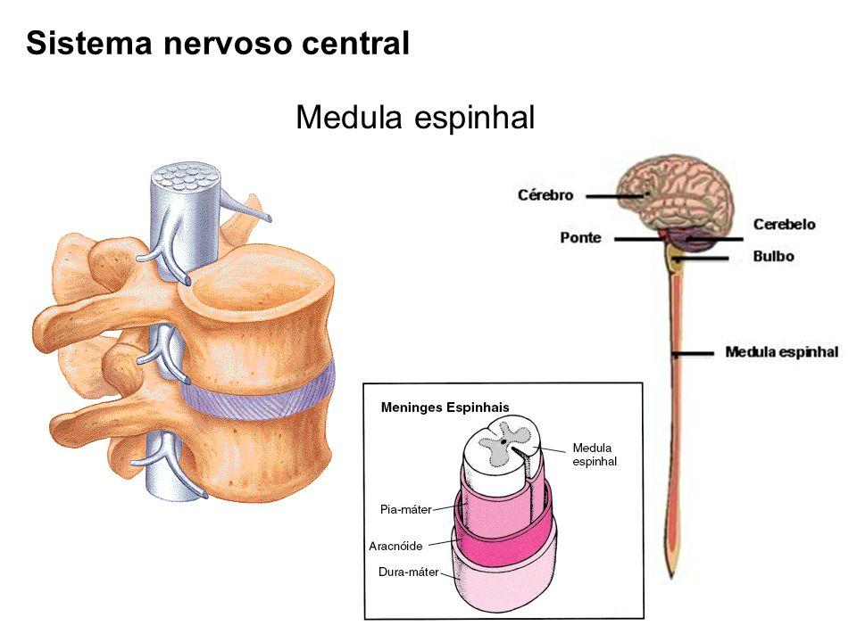 Sistema nervoso central Medula espinhal