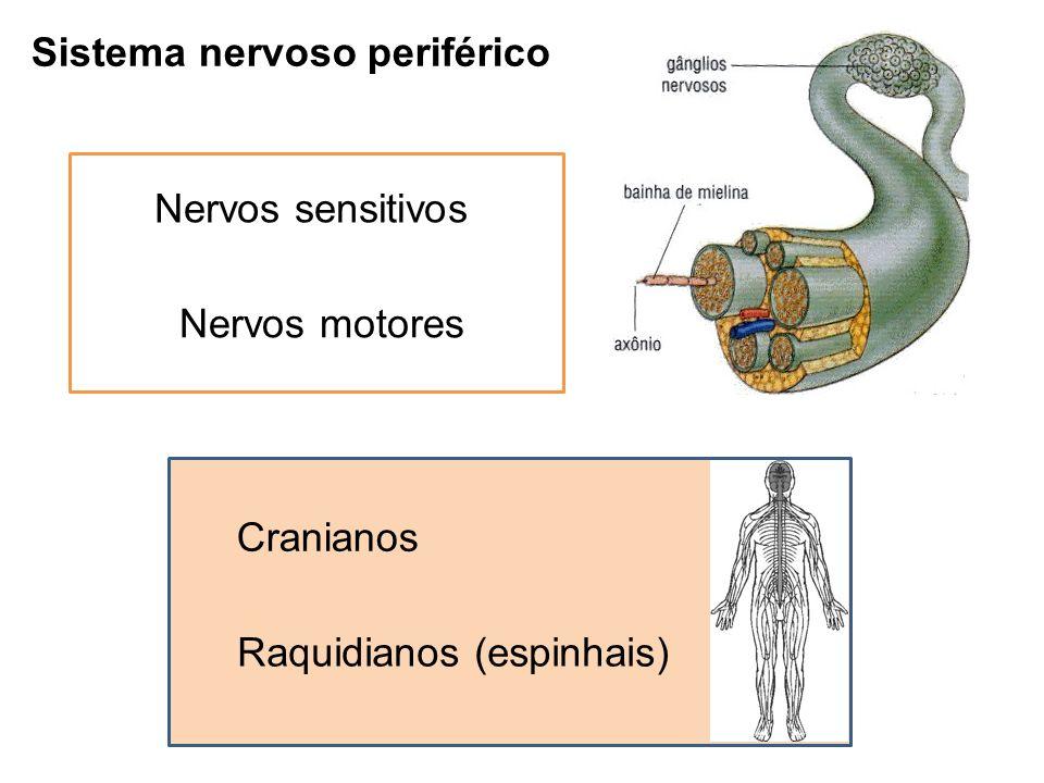 Sistema nervoso periférico Nervos sensitivos Nervos motores Cranianos Raquidianos (espinhais)