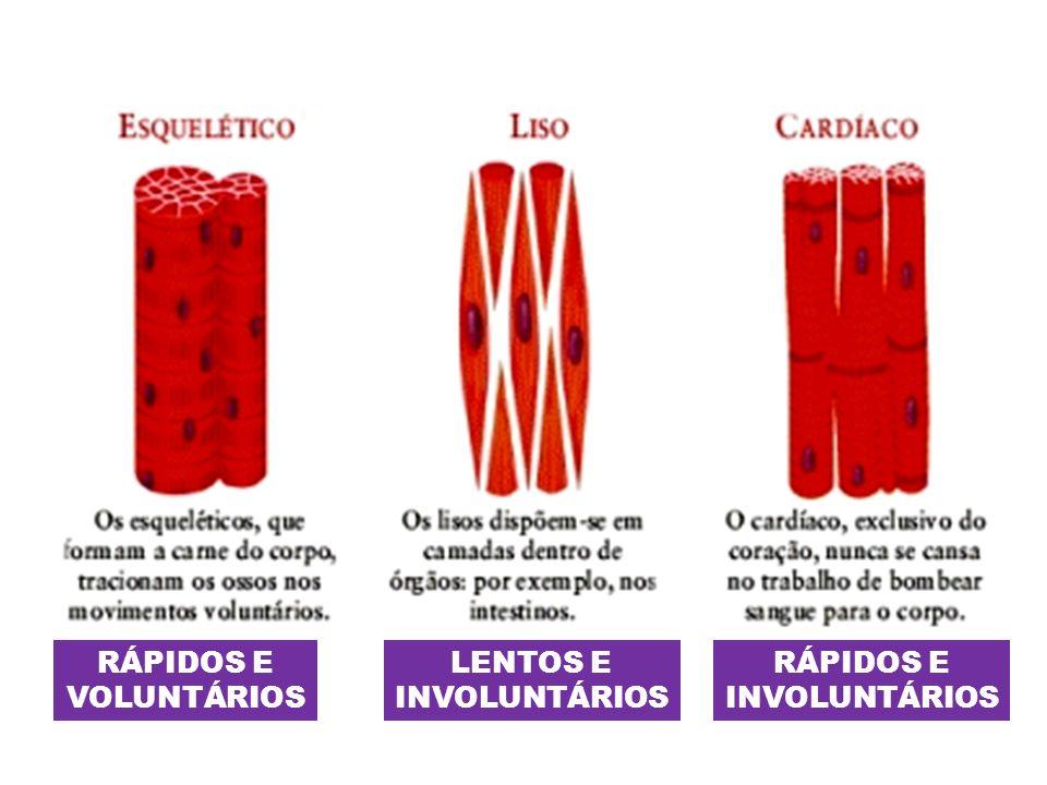 MIOFIBRILAS