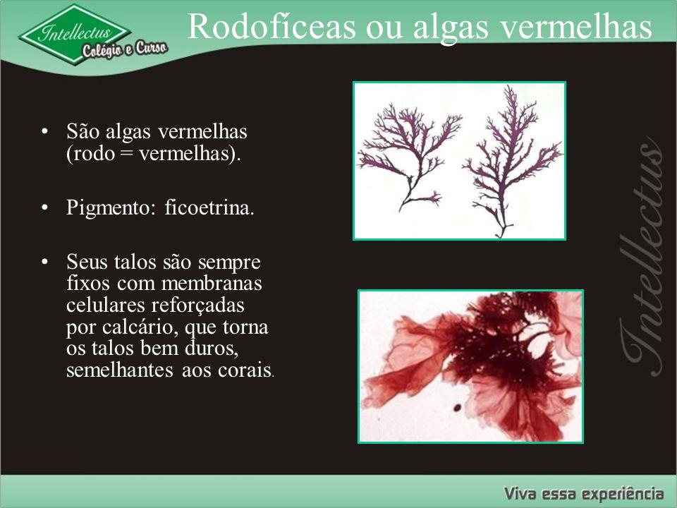 Rodofíceas ou algas vermelhas São algas vermelhas (rodo = vermelhas). Pigmento: ficoetrina. Seus talos são sempre fixos com membranas celulares reforç