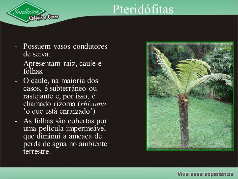 Pteridófitas -Possuem vasos condutores de seiva. -Apresentam raiz, caule e folhas. -O caule, na maioria dos casos, é subterrâneo ou rastejante e, por