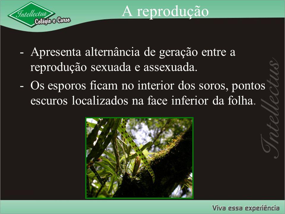 A reprodução -Apresenta alternância de geração entre a reprodução sexuada e assexuada. -Os esporos ficam no interior dos soros, pontos escuros localiz