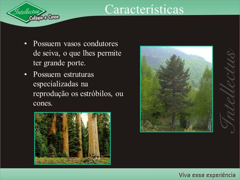 Características Possuem vasos condutores de seiva, o que lhes permite ter grande porte. Possuem estruturas especializadas na reprodução os estróbilos,
