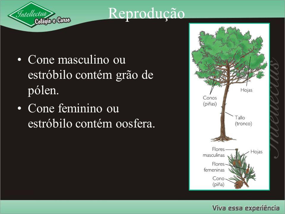 Reprodução Cone masculino ou estróbilo contém grão de pólen. Cone feminino ou estróbilo contém oosfera.