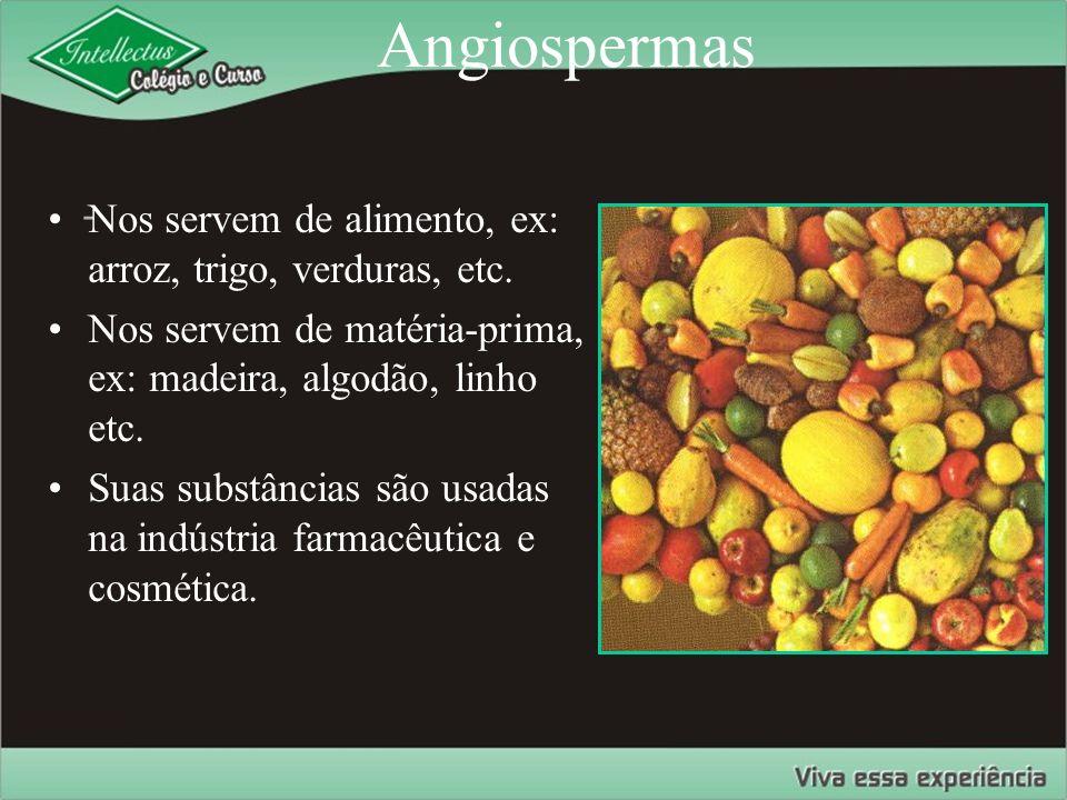 Angiospermas - Nos servem de alimento, ex: arroz, trigo, verduras, etc. Nos servem de matéria-prima, ex: madeira, algodão, linho etc. Suas substâncias