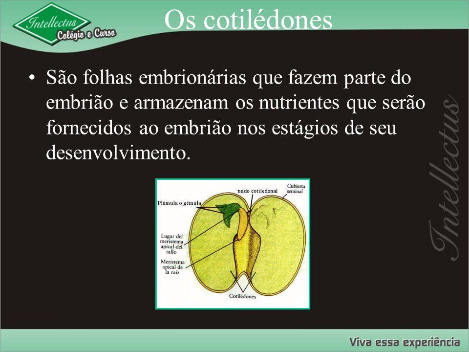 Os cotilédones São folhas embrionárias que fazem parte do embrião e armazenam os nutrientes que serão fornecidos ao embrião nos estágios de seu desenv