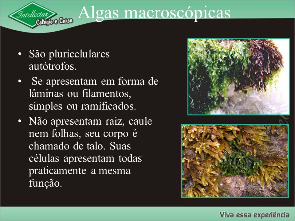Algas macroscópicas São pluricelulares autótrofos. Se apresentam em forma de lâminas ou filamentos, simples ou ramificados. Não apresentam raiz, caule