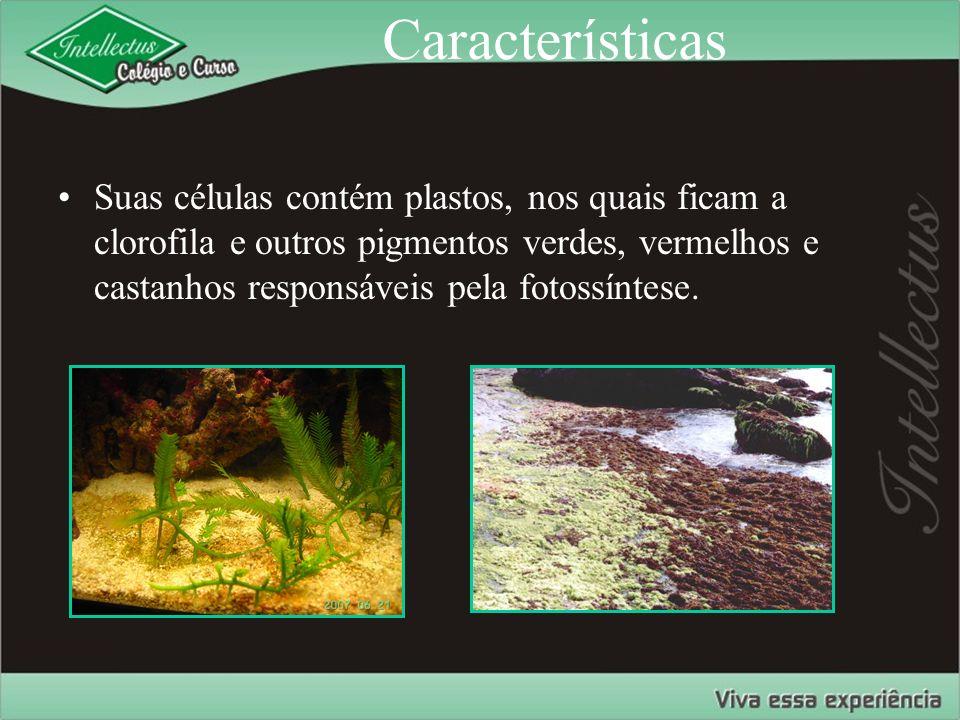 Características Suas células contém plastos, nos quais ficam a clorofila e outros pigmentos verdes, vermelhos e castanhos responsáveis pela fotossínte