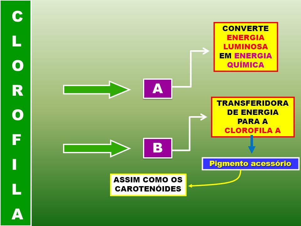 A A B B CONVERTE ENERGIA LUMINOSA EM ENERGIA QUÍMICA TRANSFERIDORA DE ENERGIA PARA A CLOROFILA A Pigmento acessório ASSIM COMO OS CAROTENÓIDES