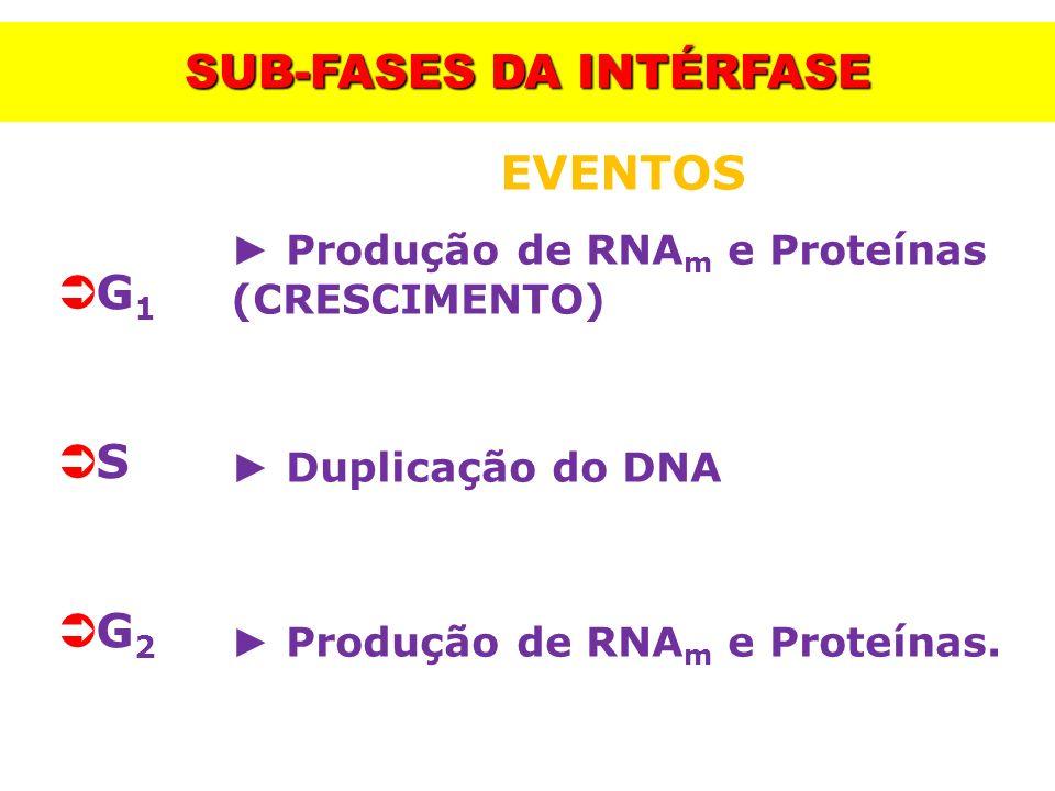 SUB-FASES DA INTÉRFASE G 1 S G 2 EVENTOS Produção de RNA m e Proteínas (CRESCIMENTO) Duplicação do DNA Produção de RNA m e Proteínas.