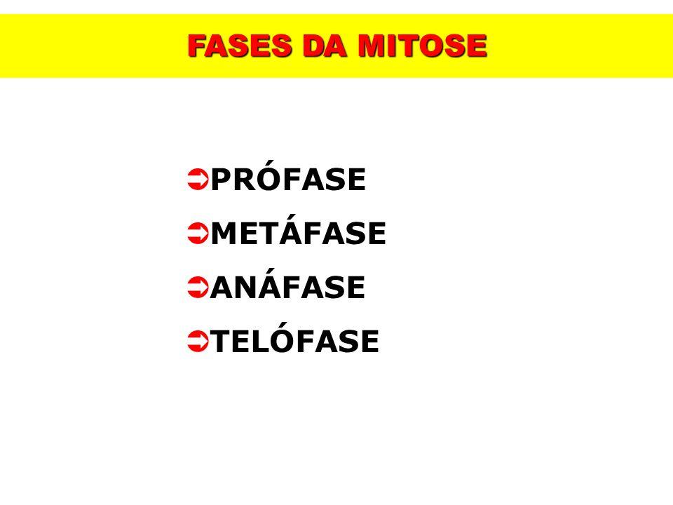 PRÓFASE METÁFASE ANÁFASE TELÓFASE FASES DA MITOSE