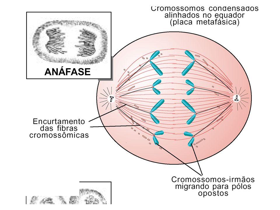 Duplicação do centrômero. Cada cromossomo com uma só cromátide. Os cromossomos migram para os pólos da célula (ASCENSÃO POLAR)