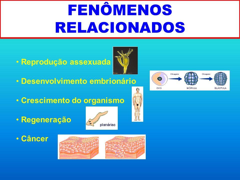 FENÔMENOS RELACIONADOS Reprodução assexuada Desenvolvimento embrionário Crescimento do organismo Regeneração Câncer