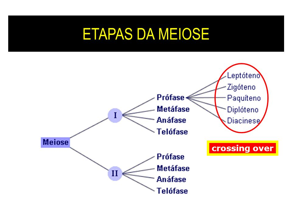 ETAPAS DA MEIOSE crossing over