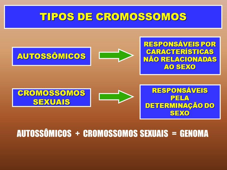 TIPOS DE CROMOSSOMOS AUTOSSÔMICOS CROMOSSOMOS SEXUAIS RESPONSÁVEIS POR CARACTERÍSTICAS NÃO RELACIONADAS AO SEXO RESPONSÁVEIS PELA DETERMINAÇÃO DO SEXO