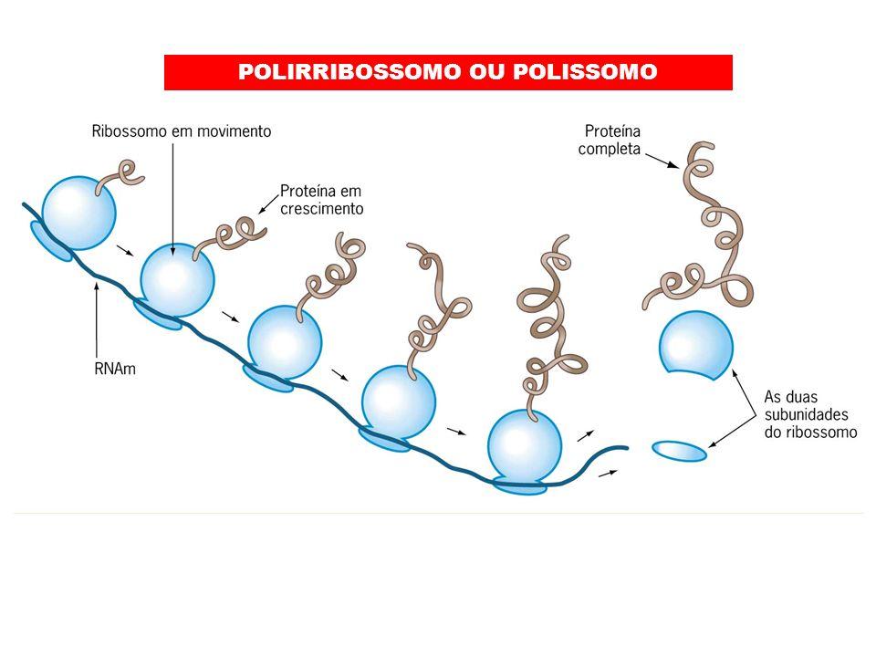 POLIRRIBOSSOMO OU POLISSOMO