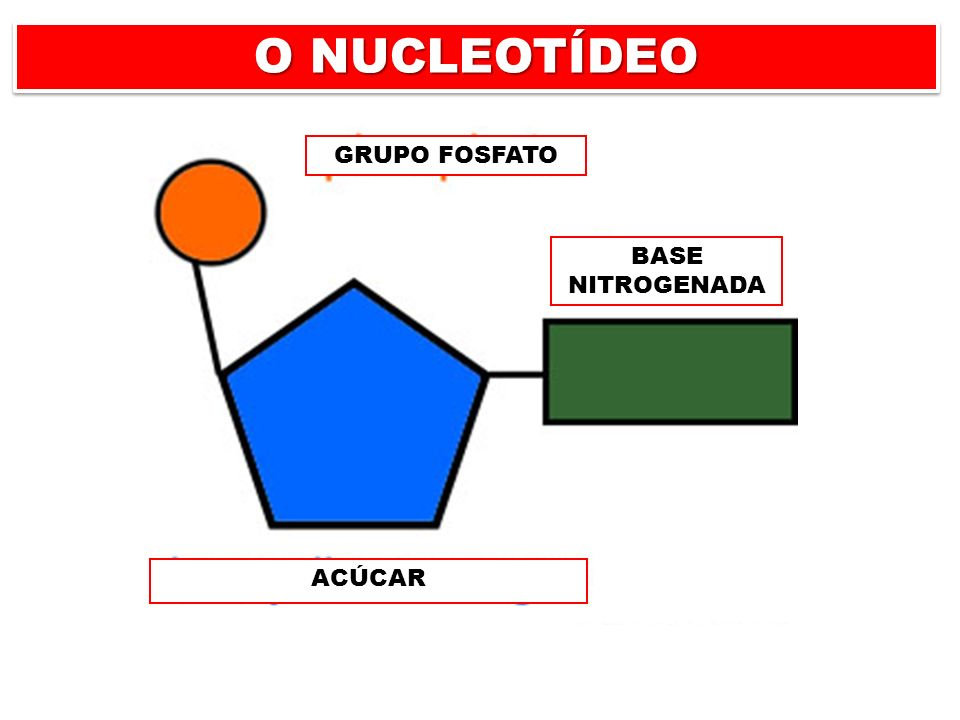 O NUCLEOTÍDEO GRUPO FOSFATO AÇÚCAR BASE NITROGENADA GRUPO FOSFATO ACÚCAR BASE NITROGENADA
