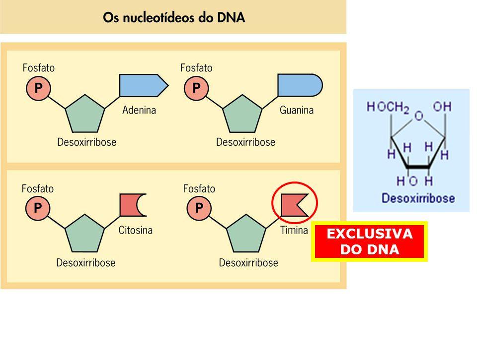 DNA POSSUI UM AÇUCAR (PENTOSE) DO TIPO DESOXIRRIBOSE NUCLEOTÍDEO CHAMADO DE DESOXIRRIBONUCLEOTÍDEO SUAS BASES NITROGENADAS SÃO: ADENINA, TIMINA, GUANINA E CITOSINA CONSTITUÍDO POR DOIS LONGOS FILAMENTOS ENROLADOS UM SOBRE O OUTRO (ESTRUTURA HELICOIDAL)