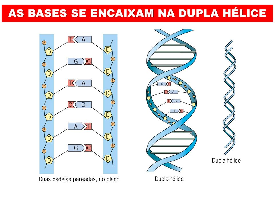 CLASSIFICAMOS AS BASES COMO: BASES PÚRICAS BASES PIRIMÍDICAS Citosina (C)Timina (T)Uracila (U) Guanina (G)Adenina (A) 1 ANEL 2 ANÉIS