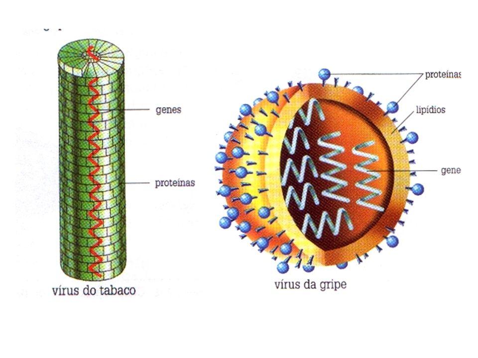 . Ciclo lítico: que provoca a morte da célula hospedeira.