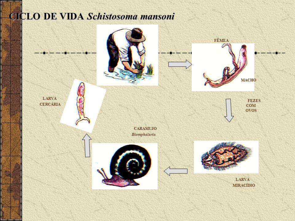 FÊMEA FÊMEA MACHO MACHO LARVA LARVA MIRACÍDIO MIRACÍDIO CARAMUJO CARAMUJOBiomphalaria LARVA LARVA CERCÁRIA CERCÁRIA CICLO DE VIDA Schistosoma mansoni