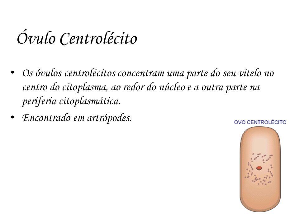 Óvulo Centrolécito Os óvulos centrolécitos concentram uma parte do seu vitelo no centro do citoplasma, ao redor do núcleo e a outra parte na periferia