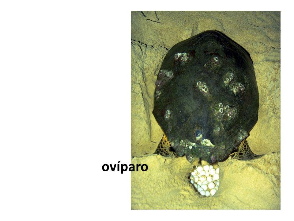 Óvulo oligolécito, alécito ou isolécito Pequena quantidade de vitelo, distribuído de maneira mais ou menos uniforme no citoplasma.