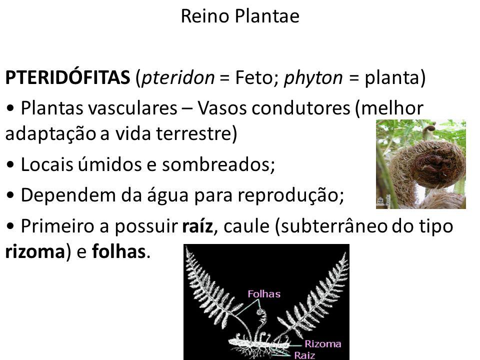 Professor: Thiago Lima Reino Plantae PTERIDÓFITAS (pteridon = Feto; phyton = planta) Plantas vasculares – Vasos condutores (melhor adaptação a vida te