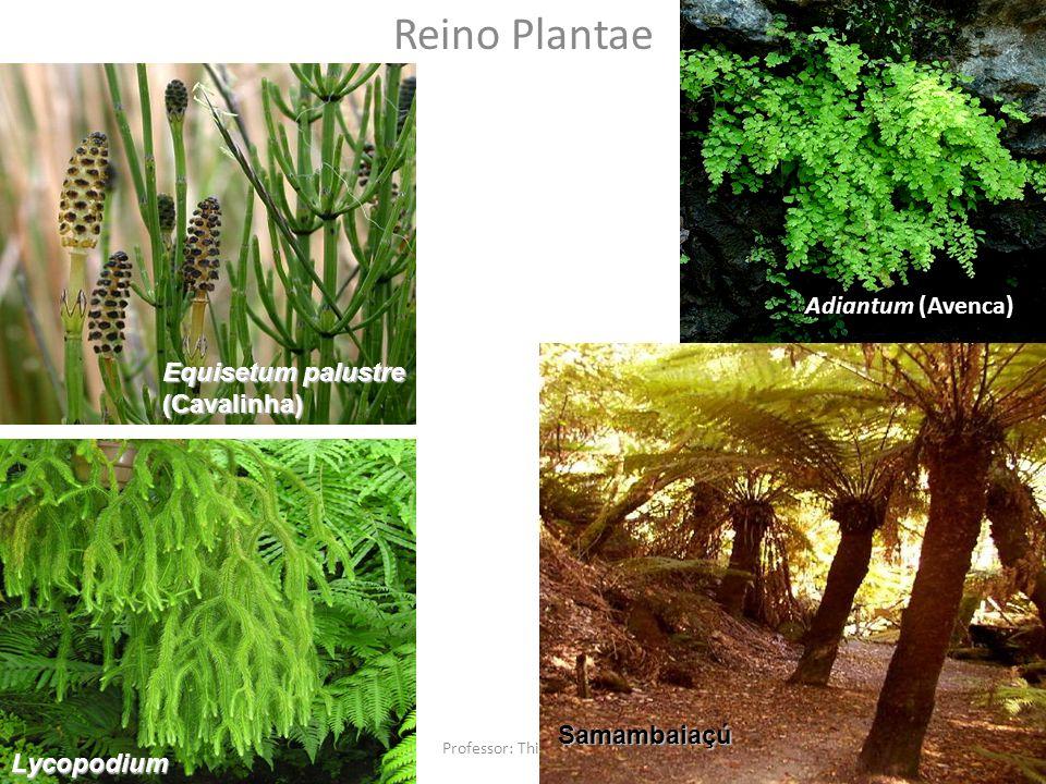Reino Plantae Equisetum palustre (Cavalinha) Lycopodium Adiantum (Avenca) Samambaiaçú