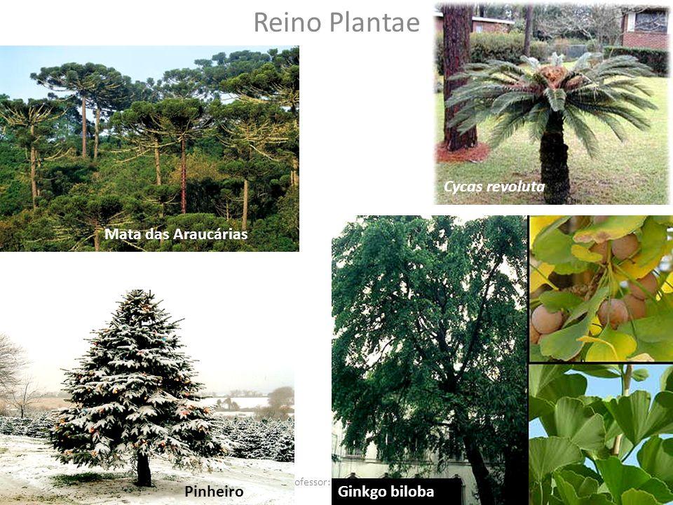 Professor: Thiago Lima Reino Plantae Mata das Araucárias Cycas revoluta PinheiroGinkgo biloba
