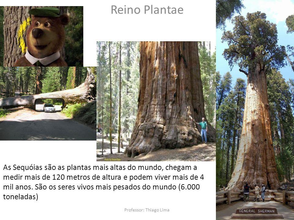 Professor: Thiago Lima Reino Plantae As Sequóias são as plantas mais altas do mundo, chegam a medir mais de 120 metros de altura e podem viver mais de