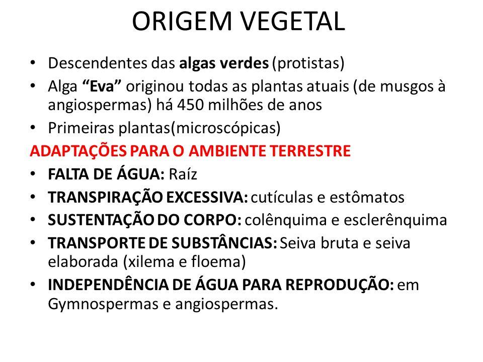 ORIGEM VEGETAL Descendentes das algas verdes (protistas) Alga Eva originou todas as plantas atuais (de musgos à angiospermas) há 450 milhões de anos P
