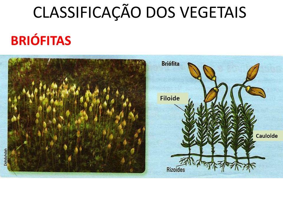 Professor: Thiago Lima Reino Plantae PTERIDÓFITAS (pteridon = Feto; phyton = planta) Plantas vasculares – Vasos condutores (melhor adaptação a vida terrestre) Locais úmidos e sombreados; Dependem da água para reprodução; Primeiro a possuir raíz, caule (subterrâneo do tipo rizoma) e folhas.