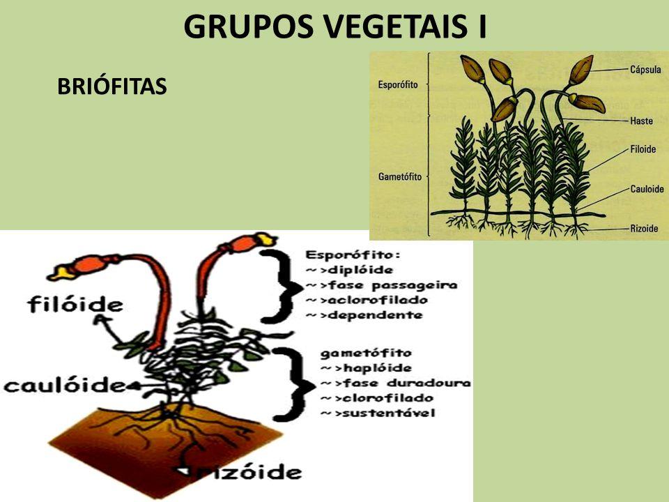GRUPOS VEGETAIS I Ciclo Haplodiplobionte das Briófitas