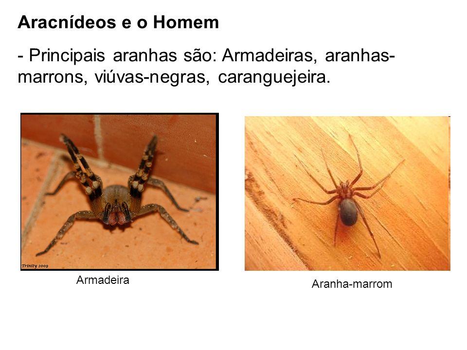 Aracnídeos e o Homem - Principais aranhas são: Armadeiras, aranhas- marrons, viúvas-negras, caranguejeira. Armadeira Aranha-marrom