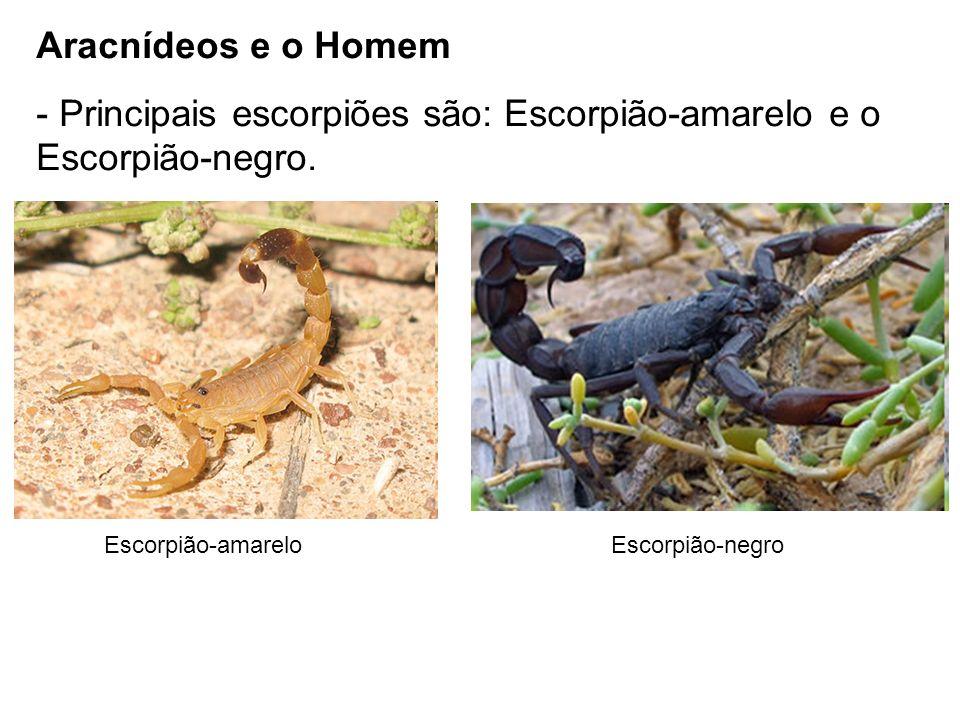 Aracnídeos e o Homem - Principais escorpiões são: Escorpião-amarelo e o Escorpião-negro. Escorpião-amareloEscorpião-negro