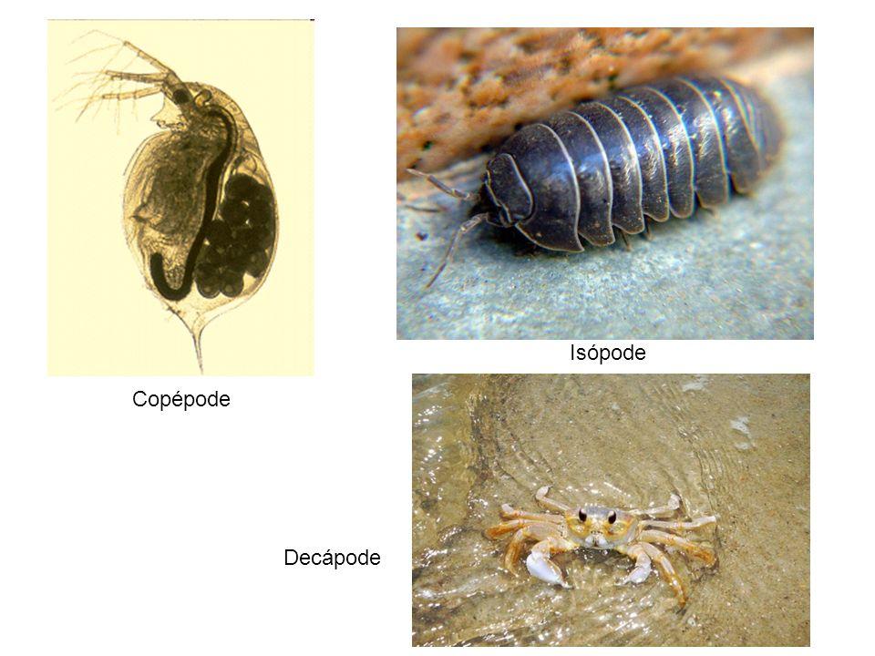Copépode Isópode Decápode
