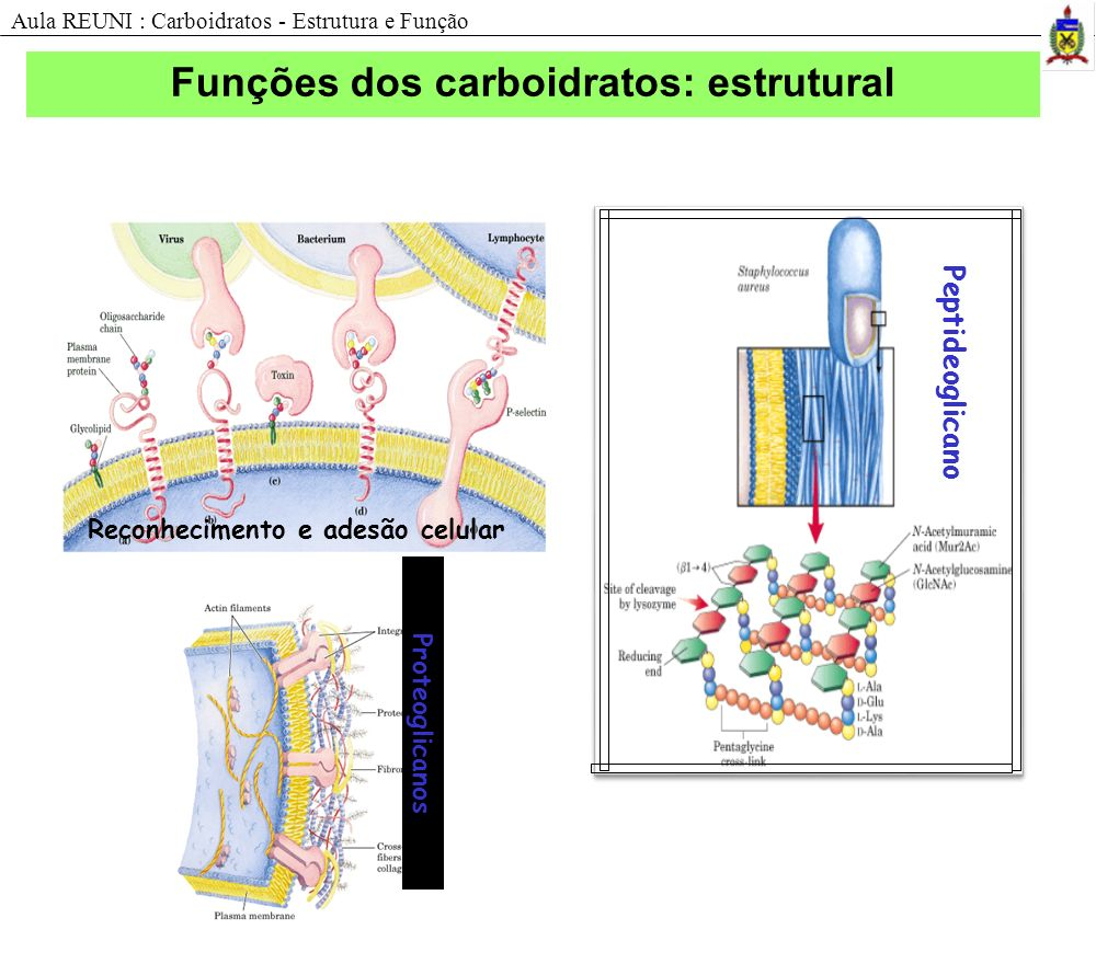 Funções dos carboidratos: estrutural Reconhecimento e adesão celular Peptideoglicano Aula REUNI : Carboidratos - Estrutura e Função Proteoglicanos