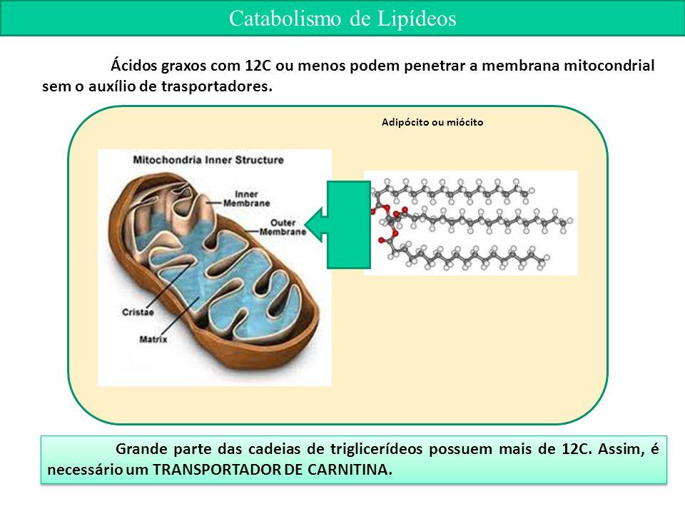 Ácidos graxos com 12C ou menos podem penetrar a membrana mitocondrial sem o auxílio de trasportadores.