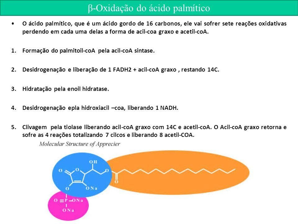 O ácido palmítico, que é um ácido gordo de 16 carbonos, ele vai sofrer sete reações oxidativas perdendo em cada uma delas a forma de acil-coa graxo e acetil-coA.