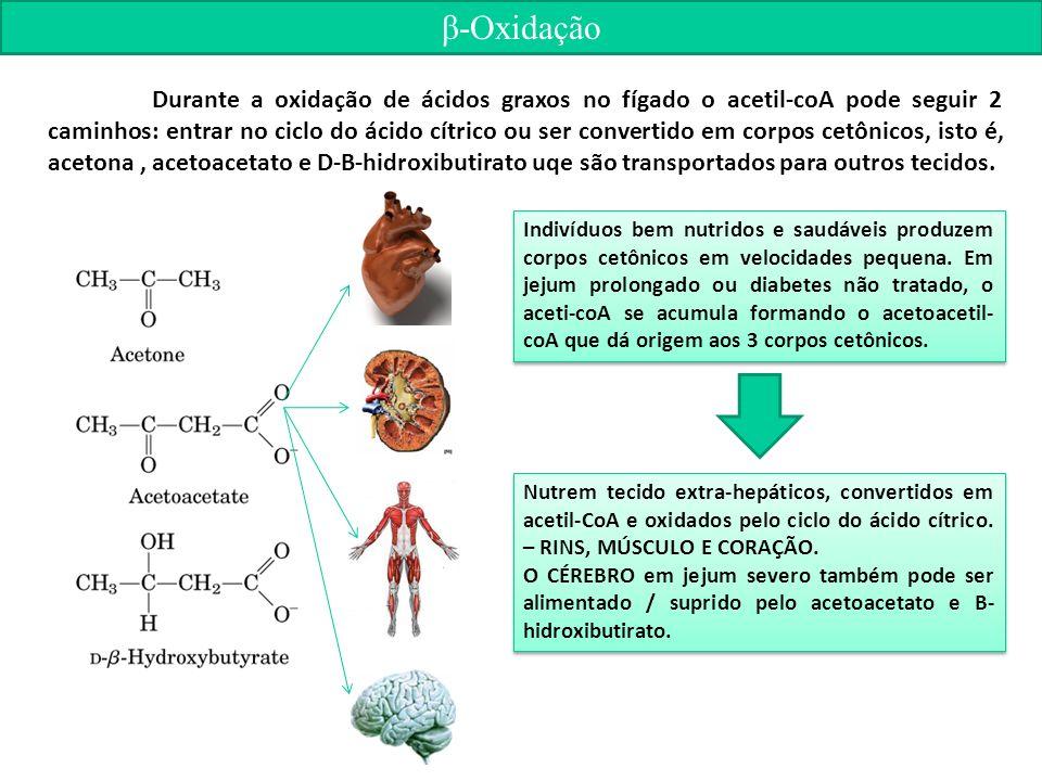 β-Oxidação Durante a oxidação de ácidos graxos no fígado o acetil-coA pode seguir 2 caminhos: entrar no ciclo do ácido cítrico ou ser convertido em corpos cetônicos, isto é, acetona, acetoacetato e D-B-hidroxibutirato uqe são transportados para outros tecidos.