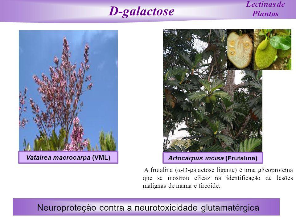 Lectinas de Plantas A frutalina (α-D-galactose ligante) é uma glicoproteína que se mostrou eficaz na identificação de lesões malignas de mama e tireói