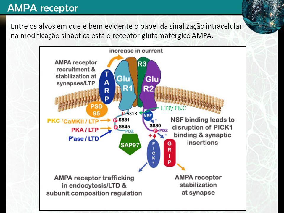 P-S818 LTP/ PKC PKC / AMPA receptor Entre os alvos em que é bem evidente o papel da sinalização intracelular na modificação sináptica está o receptor