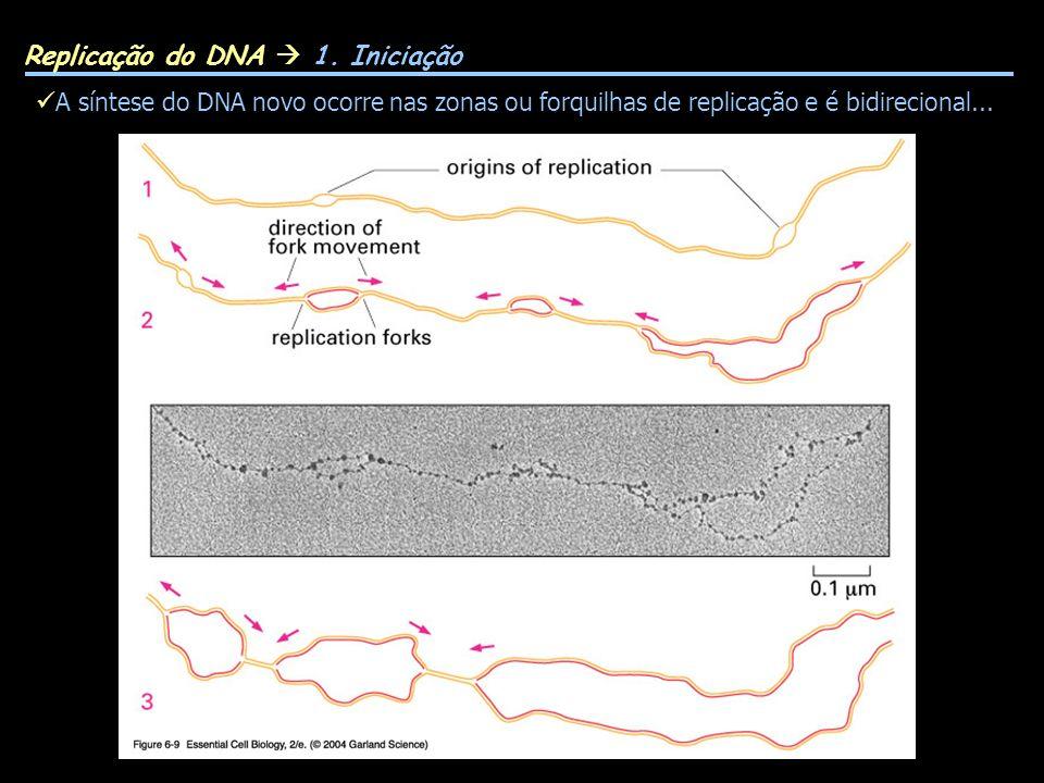 A síntese do DNA novo ocorre nas zonas ou forquilhas de replicação e é bidirecional...