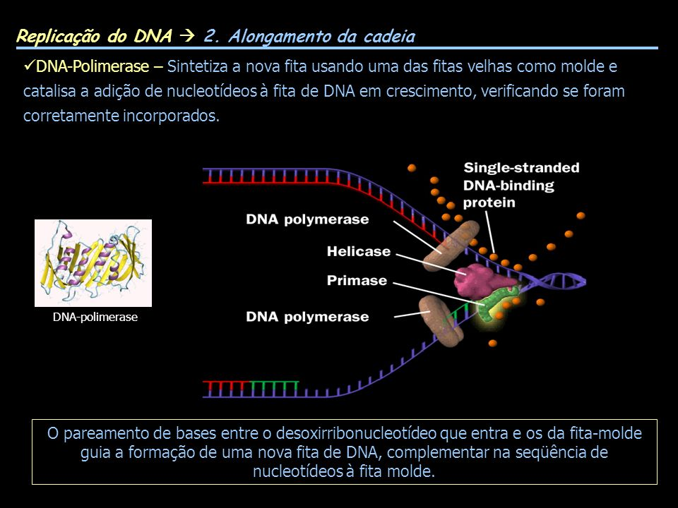 Replicação do DNA 2. Alongamento da cadeia DNA-Polimerase – Sintetiza a nova fita usando uma das fitas velhas como molde e catalisa a adição de nucleo