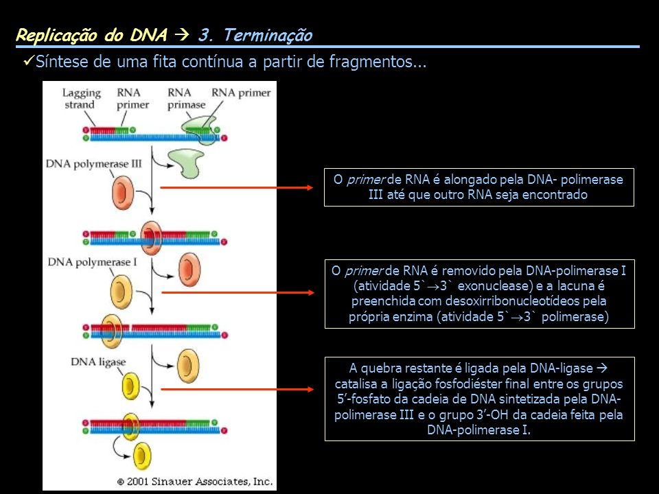 Síntese de uma fita contínua a partir de fragmentos... Replicação do DNA 3. Terminação O primer de RNA é alongado pela DNA- polimerase III até que out