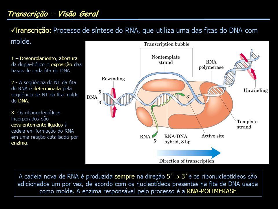 Transcrição – Visão Geral Transcrição: Processo de síntese do RNA, que utiliza uma das fitas do DNA com molde. 1 – Desenrolamento, abertura da dupla-h