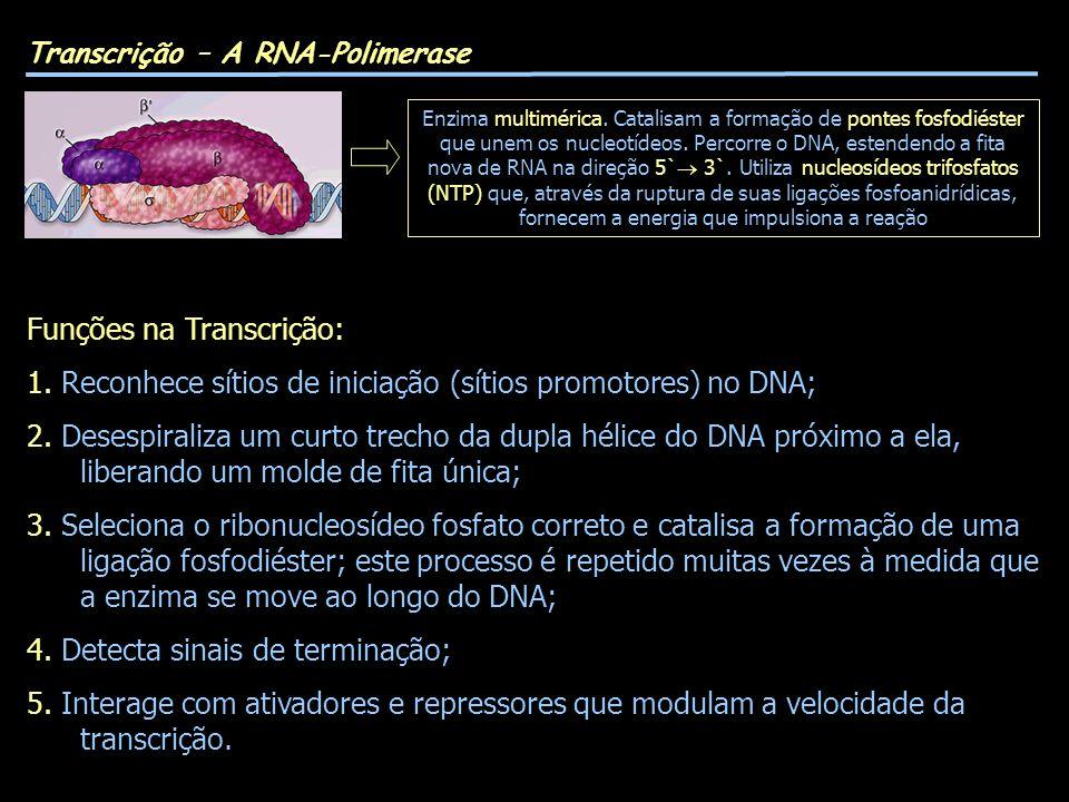 Transcrição – A RNA-Polimerase Funções na Transcrição: 1. Reconhece sítios de iniciação (sítios promotores) no DNA; 2. Desespiraliza um curto trecho d